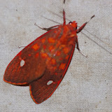 Arctiidae : Melese intensa ROTHSCHILD, 1909. Los Cedros, 1400 m, Montagnes de Toisan, Cordillère de La Plata (Imbabura, Équateur), 20 novembre 2013. Photo : J.-M. Gayman