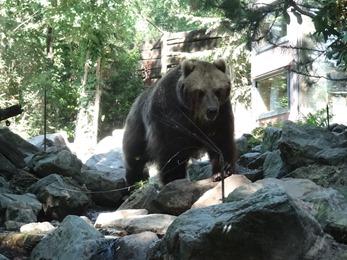 2017.06.17-050 grizzli