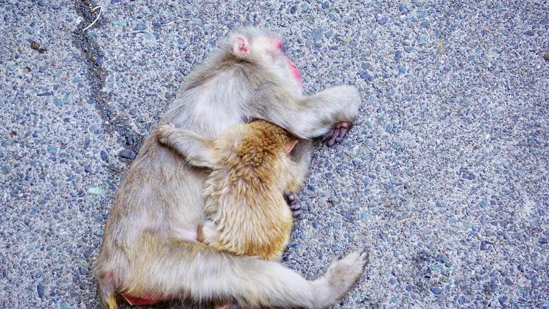 多摩動物公園 ニホンザル 写真3