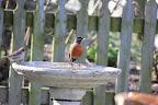 Sparrow Robin