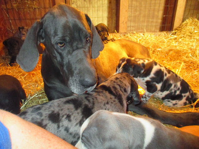 Saffy & her babies @ 5 weeks