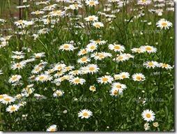 margaritas flores (41)