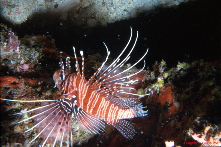 File:Scorpion fish on Cobblers Reef.jpg - Wikimedia Commons