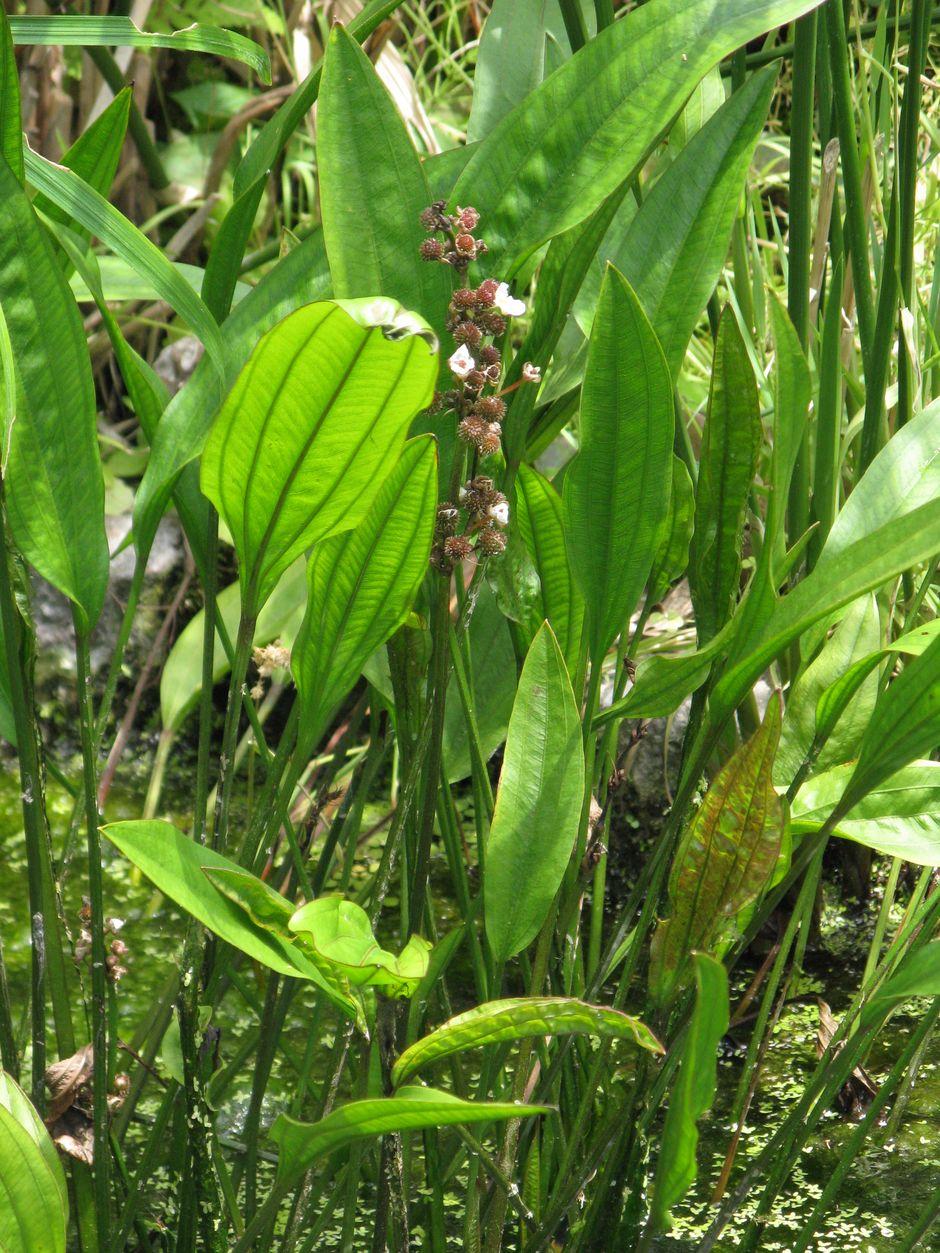 Эхинодорус метельчатый (Echinodorus paniculatus)