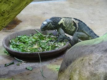 2017.08.07-032 iguane rhinocéros