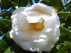 白に近い極淡桃色 八重咲き 割りしべ 大輪