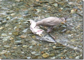 Dead Salmon at Fish Creek Wildlife Observation Site