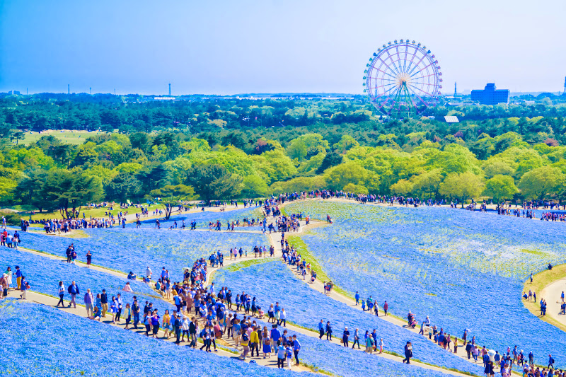 Hitachi Seaside Park Nemophila (baby blue eyes flowers) photo10