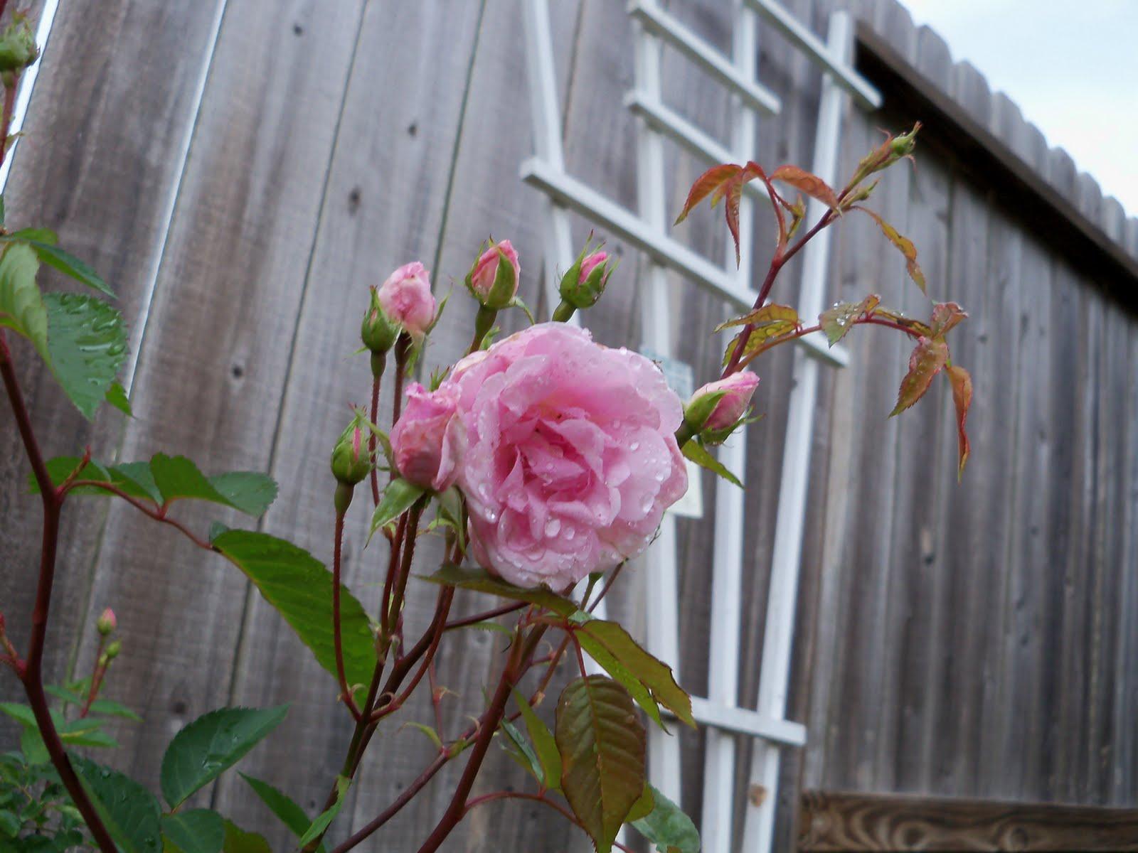 Gardening 2010 - 101_1164.JPG