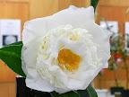 白色 唐子咲き 中輪