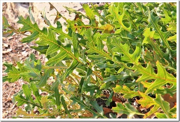 160321_SLOBG_0014_Banksia-repens