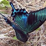 Papilio maackii MÉNÉTRIÈS, 1859 - Monts Sinyi. Photo : N. N. Balatskij