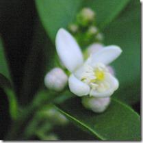 Lime Blossum