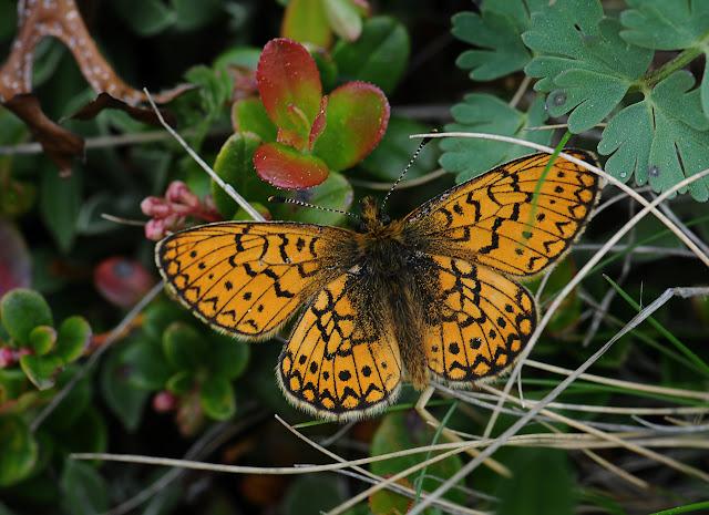 Proclossiana eunomia acidalia BOEBER, 1809. Ozero Bezimyannoe (2150 m), Monts Severo-Chuyskij, 13 juillet 2010, Photo : B. Lalanne-Cassou