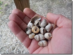 Shells from indian mound