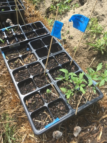 Peaceworks My 2016 Tomato Selections