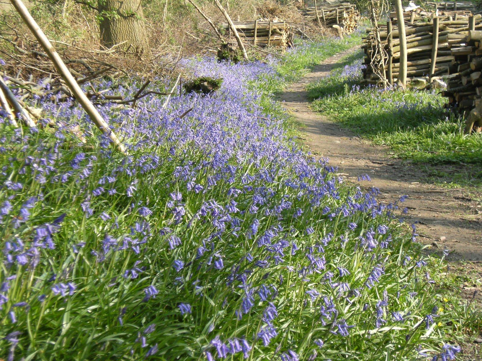 DSCF7393 Bluebells in Mill Wood