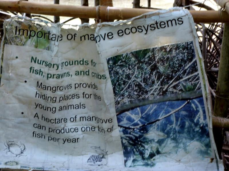 Bantayan. Mangrove
