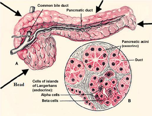 fungsi hormon kortikosteroid