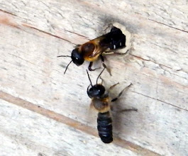 """Photo: Un couple de """"Megachile sculpturalis"""" au travail sur leur nid dans un trou de madrier. Cette abeille a été introduite involontairement d'Asie et observée deux fois (officiellement) en France : à Allauch (13) et à Marigane (13) chez moi.(2012)"""