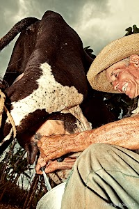 Cuban farmer milking his cow.