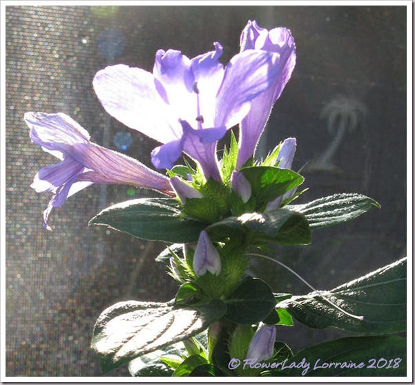 01-18-phil-violet-backlit