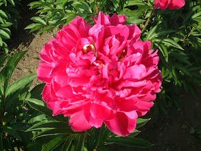 Photo: 菅平20号 多花性で赤花種の中では切り花専用品種