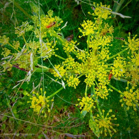 French Village Diaries Yellow July #TDF2017 fennel
