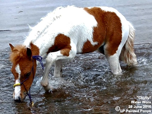 LP Painted Chyllydown W - 2016 chestnut tobiano shetland filly