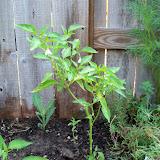 Gardening 2010, Part Two - 101_3324.JPG