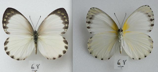 Appias phaola phaola (DOUBLEDAY, 1847), femelle. Ebogo (Cameroun), avril 2013. Coll. et photo : C. Basset