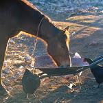 AA20 HorseChicken.jpg