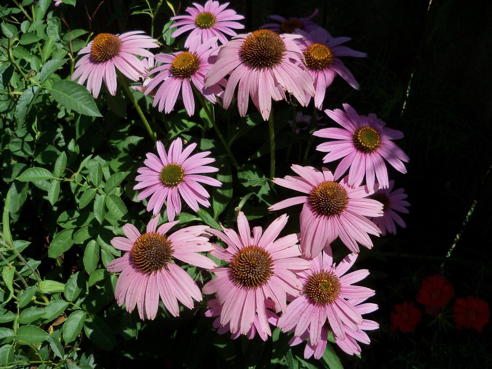 Gardening 2010, Part Three - 101_4359.JPG