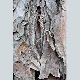 Red-Pine-bark-and-vine_MG_2905-copy.jpg