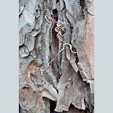 Red-Pine-bark-and-vine_MG_2905-copy.jpg