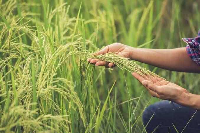 Musim Penghujan, Kementan Ingatkan Pentingnya Asuransi Pertanian