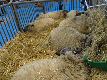 2018.02.25-059 moutons bleus du Maine