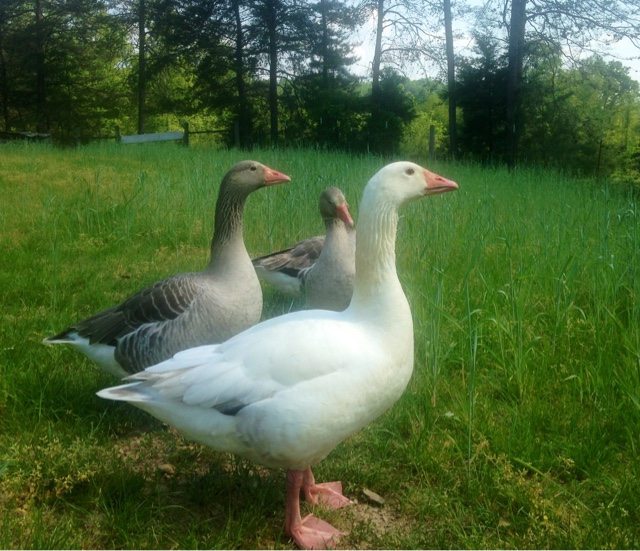 Pilgrim Geese! Why they are such an excellent choice for a small farm!