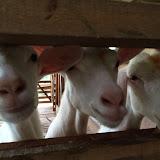 Meeh, Meeh-A trip to Goat Farm, 10th Mile, Padawan 26022016