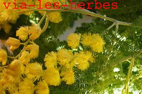 mimosa acacia dealbata +.jpg