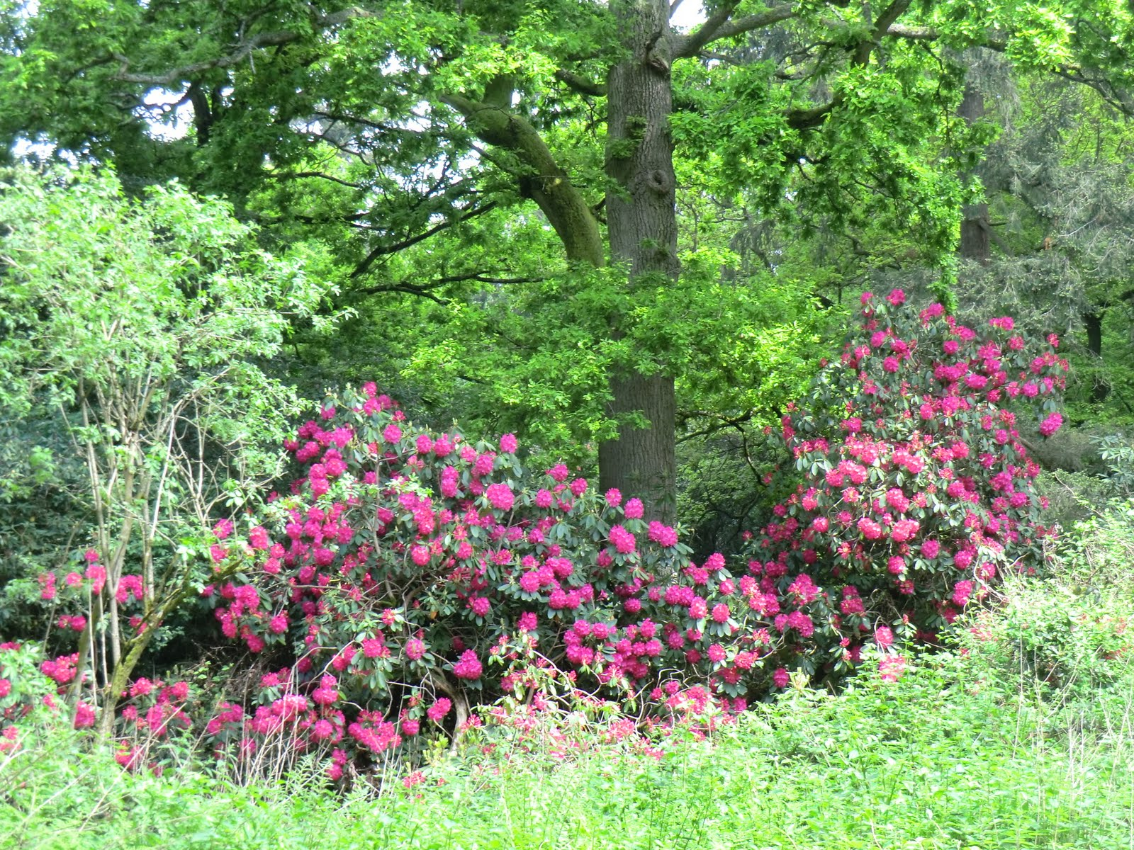 CIMG6924 Invasive rhododendron, Banstead Wood
