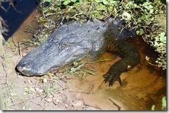 Big gator-3