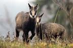 L'APPROCHE   Jeune chamois en vallée de l'Orbe