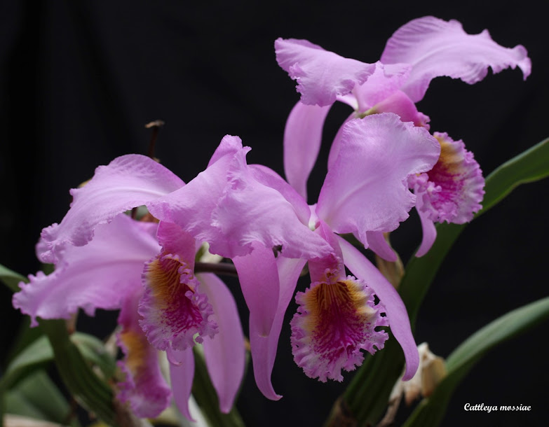Cattleya mossiae IMG_8334b%2B%2528Large%2529