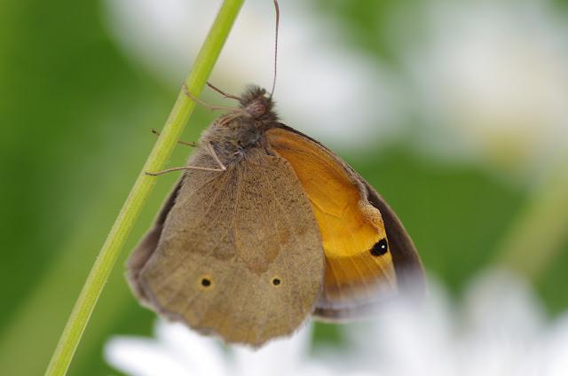 Manolia jurtina (L., 1758), mâle. Les Hautes-Lisières (Rouvres, 28), 13 juin 2012. Photo : J.-M. Gayman