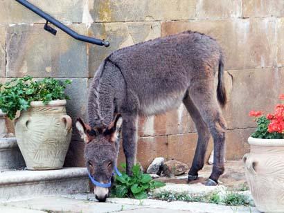 Der Esel mit Namen 'Ciccio'