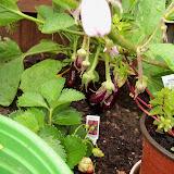 Gardening 2010, Part Two - 101_3197.JPG