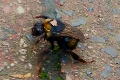 bumblebee_rescue