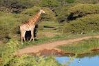 """Dyrene er slet ikke sky - for de ser os bare som """"en del af elefanten""""."""