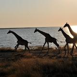Namibie - Etosha